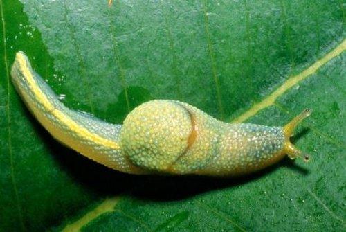 ibycus-rachelae